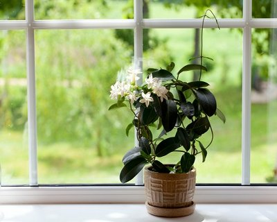 jasmine room plant on windowsill