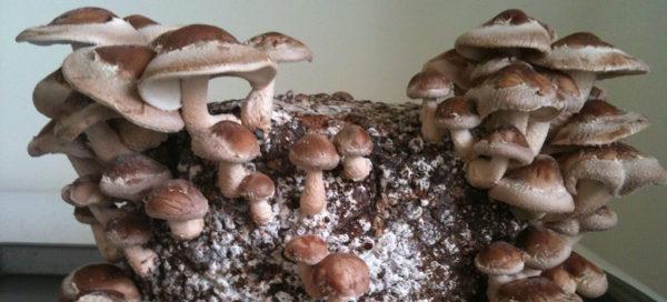 Japonské houby Shiitake - pravý elixír života a dlouhověkosti známý již 2000 let